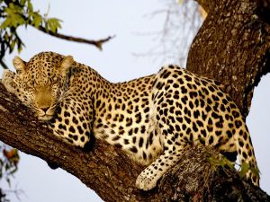 http://images.nationalgeographic.com/wpf/media-live/photos/000/006/cache/leopard_606_600x450.jpg