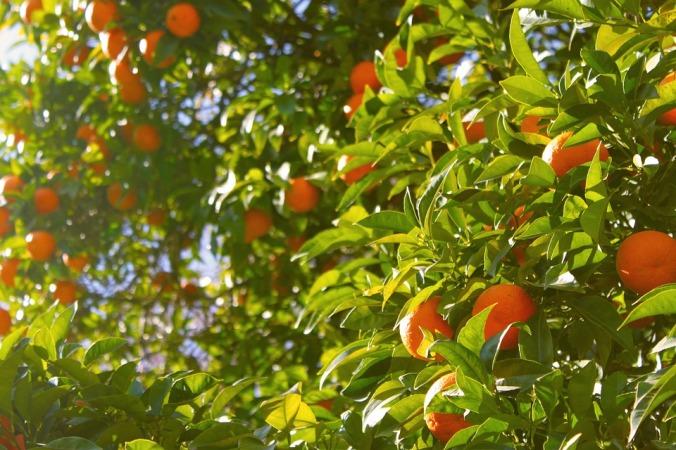 orange-tree-1149584_960_720