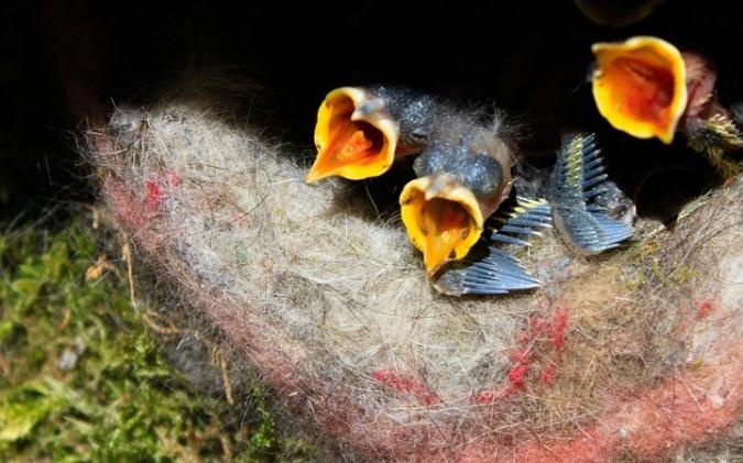 birds-nest-765791_960_720a